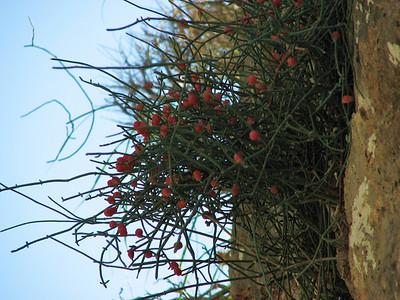 Ephedra distachya or Ephedra foemina (south of Vathi, Mani Peninsula)