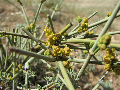 Ephedra spec. (Sendan mountains, near Gilavan, W of Sefid Rud Reservoir, Qazvin Province)