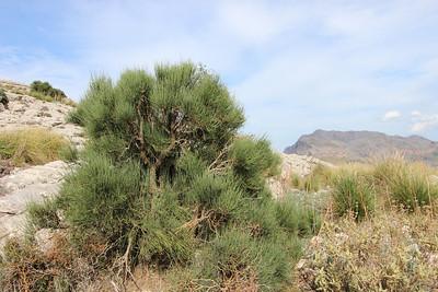 Ephedra fragilis (Coll dels Reis, 682m)