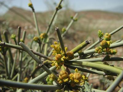 Ephedra spec. (Sendan mountains, near Gilavan, W of Sefid Rud Reservoir, Qazvin Province)