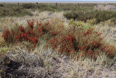 Ephedra triandra (fruits of this species are edible, strangely enough)