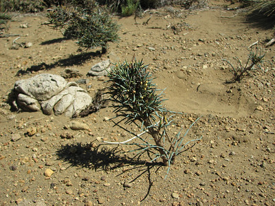 Ephedra chilense, between Chosmalal and area Natural Protegida Epu Lauquen