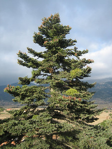Abies cephalonica (just north of Delphi on Mount Parnassos)