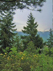 Rhododendron luteum and Picea orientalis (in the mountains just west of Artvin)