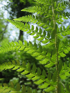 Polystichum setiferum?, not Dryopteris pallida (Along the Black Sea coast, near Rize)