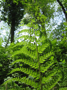 Polystichum spec., probably Polystichum setiferum (Along the Black Sea coast, near Rize)