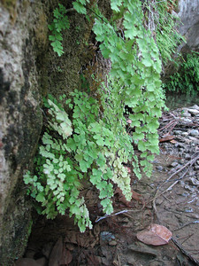Adiantum capillus-veneris (just NW of Kumluca SW Turkey)