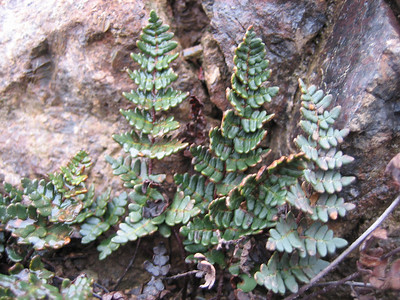 Cheilanthes spec. on serpentine (Cirisli Geçidi, Karagöl Dağları, south of Çat)