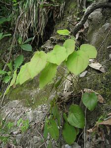 Epimedium pinnatum subsp. colchicum? (forest near Murgul)