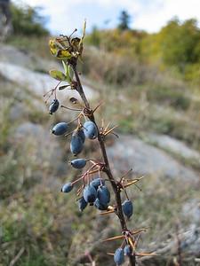 Berberis cretica? (Mount Ossa)