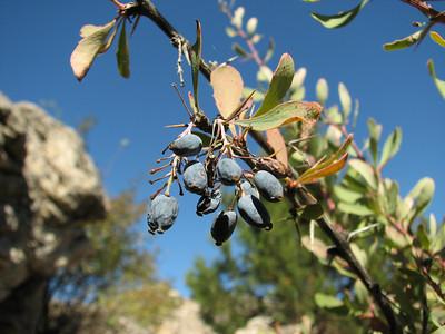 Berberis spec. (N of Kozan, near Feke, S Turkey)