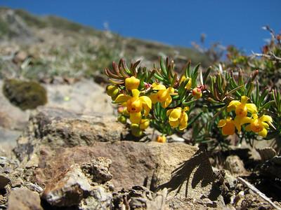 Berberis empetrifolia, Cerro Chapelco
