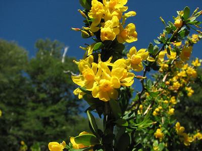 Berberis montana, Cerro Chapelco