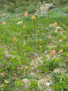 Bongardia chrysogonum (near Veresk, Mazandaran Province, Elburz mountains)