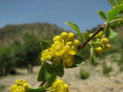 Berberis vulgaris (SE of Khorram abad)