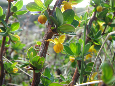 Berberis microphylla, Cerro Cathedral, walk down from upper chairlift station
