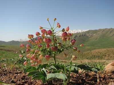 Leontice leontopetalum (near Aligudarz)