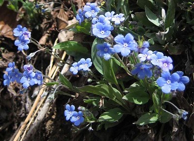 Omphalodes cappadocica (forest near Murgul)