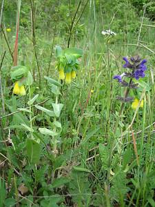 Cerinthe major and Salvia pratensis? (between Naples and Gargano)