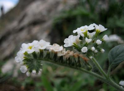 Heliotropium spec. (near Kastri, between Agia and Volos)