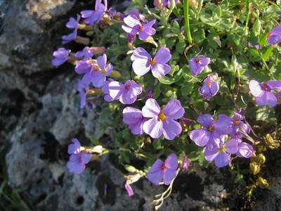 Aubrieta columnae ssp. italica (near the small village Monte St. Angelo in the Gargano peninsula, eastern Italy)