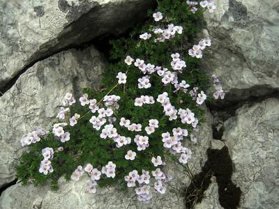Petrocallis pyrenaica (Bärental, Karawanken)
