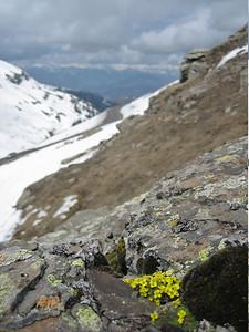 Draba bruniifolia (just east of Çamlıbel Geçidi, 2640m)