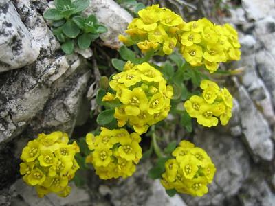 Alyssum ovirense - named for the Obir Range of which Hochobir is part (Hochobir, from Eisenkappler Hütte)