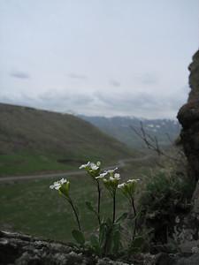 Arabis alpina ssp. caucasica (between Kars and Erzurum)