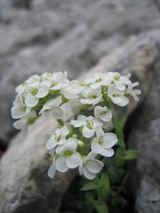 Thlaspi kerneri (Bärental, Karawanken)