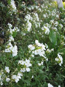 Arabis alpina, photograph by Marijn van den Brink (near the village Monte St. Angelo in the Gargano peninsula, eastern Italy)