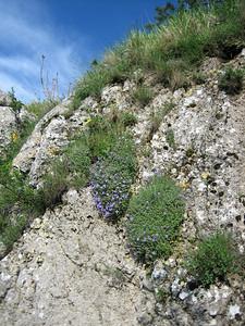 Habitat of Aubrieta columnae, photograph by Marijn van den Brink (near the village Monte St. Angelo in the Gargano peninsula, eastern Italy)