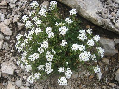 Hutchinsia alpina (Bärental, Karawanken)