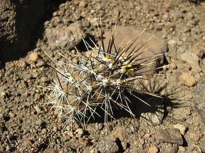 Pterocactus hickenii?, between Chos Malal and Volcano Troomen KJvZ