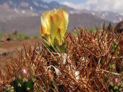 Maihueniopsis ovata (Lagunilla's, Maipo Valley, Chile, Photograph by Kok van Herk)
