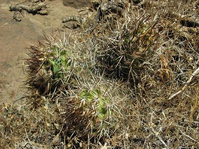 Austrocactus spec, near El Cholar, Neuquen 2010, KJVZ 1