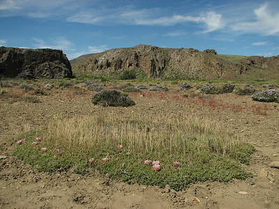 Maihuenia patagonica, between Bariloche and Pilcaniyeu KJ3