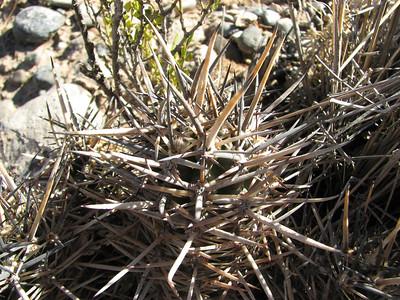 Austrocactus bertinii, Neuquen, outskirts of city, 300m altitude KJVZ8