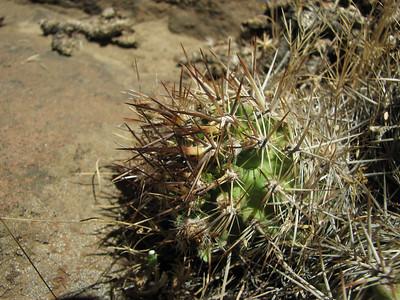 Austrocactus spec, near El Cholar, Neuquen 2010, KJVZ 2