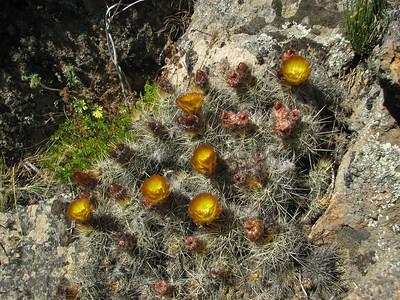 Austrocactus coxii between Bariloche and Pilcaniyeu, 2nd - eastern -population, KJVZ