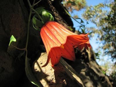 Canarina canariensis (Parque del Drago, Icod de los Vinos)
