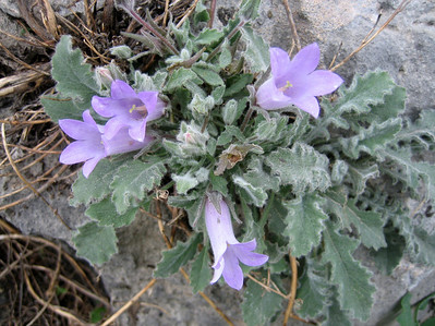 Campanula thessala? (near Kastri, between Agia and Volos)