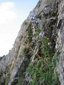 Campanula versicolor (just north of Delphi on Mount Parnassos)