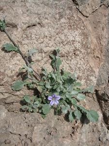 Campanula rupestris (Delphi)