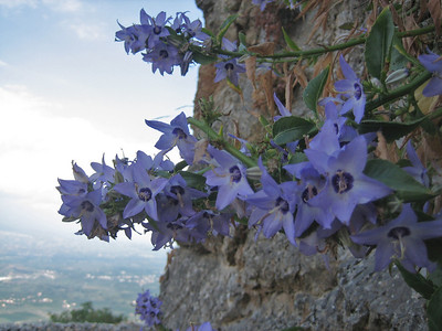 Campanula versicolor (south of Mistras)