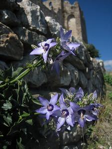 Campanula versicolor (Mistras)