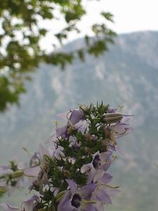 Campanula versicolor (near Delphi)
