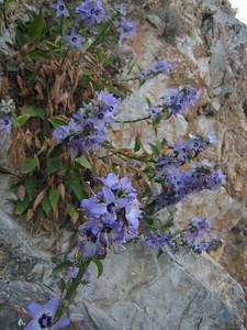 Campanula versicolor (south of Mistras)