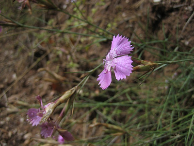 Dianthus mercurii, syn. D. biflorus ssp. mercurii - a rare endemic at lower altitudes on Mt. Chelmos and Mt. Killini (just nort of Mt. Chelmos, along Vouraikos Gorge road)