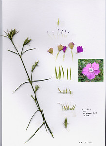 Dianthus mercurii, syn. D. biflorus ssp. mercurii - a rare endemic at lower altitudes on Mt. Chelmos and Mt. Killini, a herbarium specimen from R. Lamert, raised from seed seed collected along Vouraikos Gorge Road